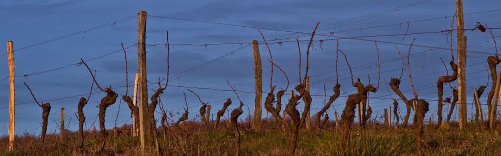 Vignes de Herrebouc en hiver