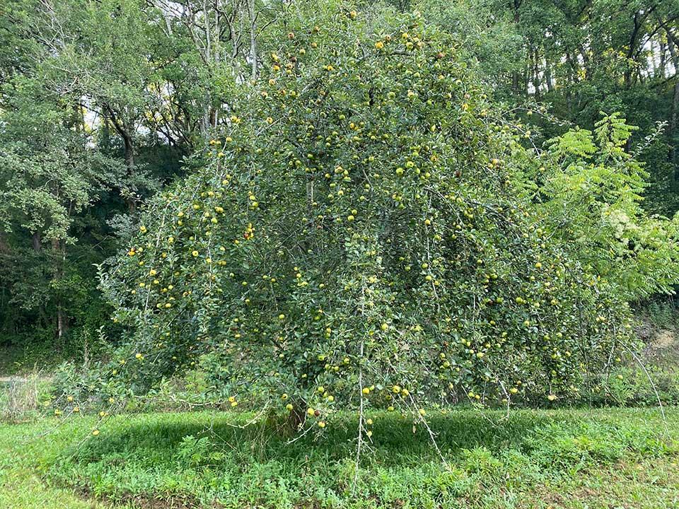 pommier plein de pommes dans le verger de Herrebouc