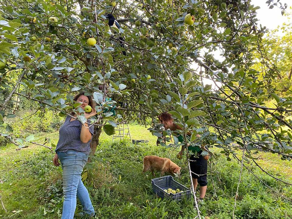Cueillette des pommes à Herrebouc