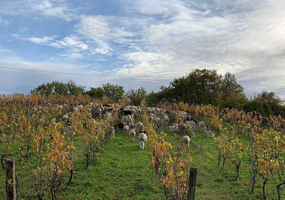 Des brebis dans les vignes